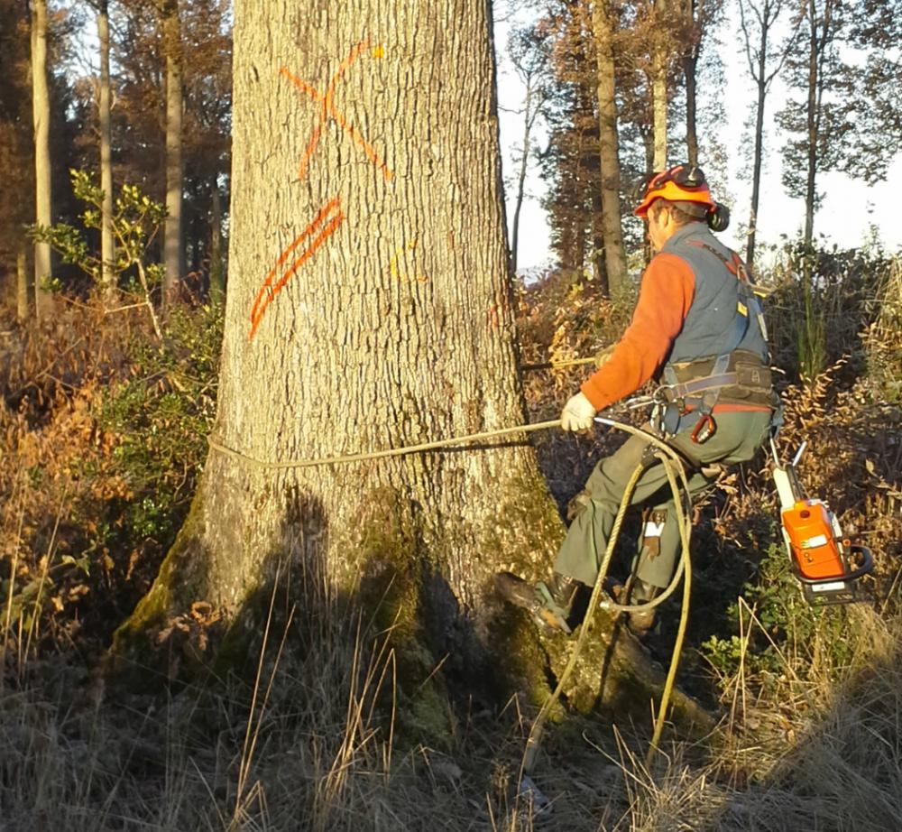 Abattage chêne - Forêt Domaniale de Tronçais 2014