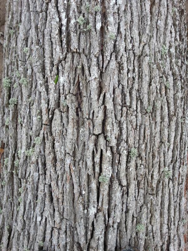 Chêne pour la tonnellerie